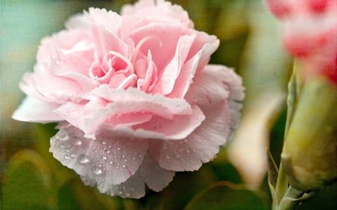 粉红色的康乃馨