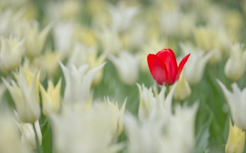 单红色的郁金香