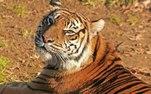 懒惰的老虎