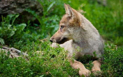 在草的狼崽