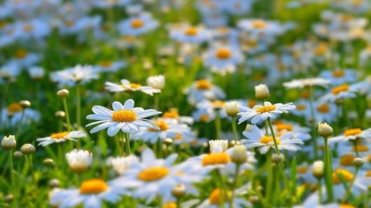 白色小雏菊