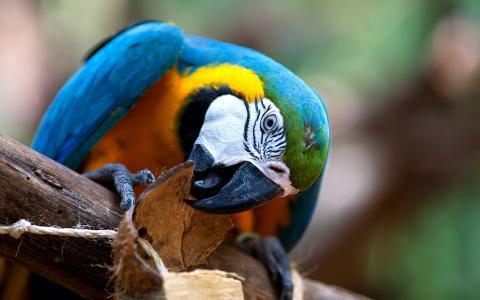 金刚鹦鹉嚼在树上