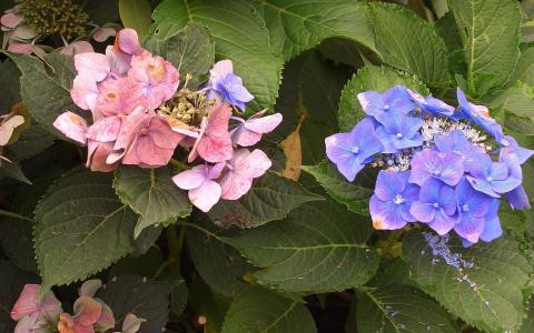 紫色和桃红色八仙花属