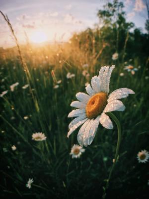 淡雅的雏菊