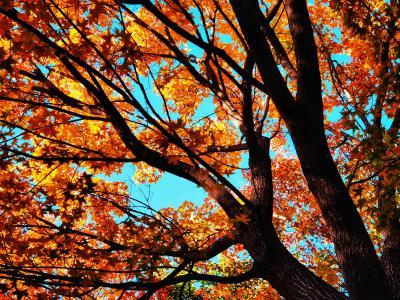 唯美的银杏树图片