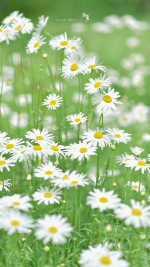 初夏的清新雏菊