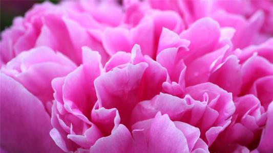 美丽的牡丹花
