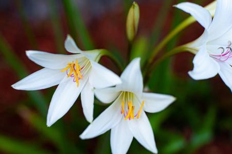 美丽纯洁的百合花