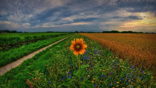 在领域的向日葵