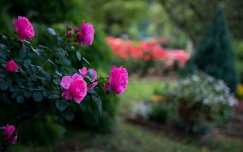 令人敬畏的粉红玫瑰