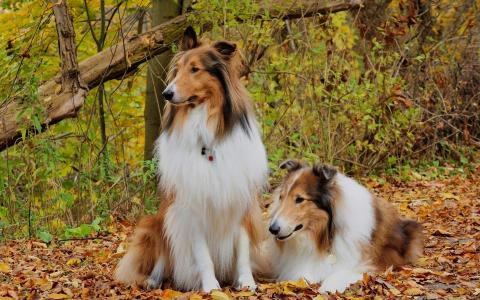在树林粗糙的牧羊犬