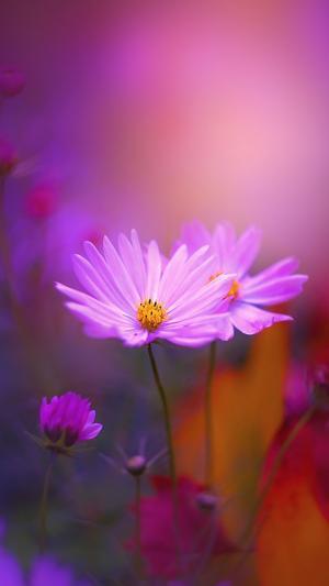 唯美的秋英花