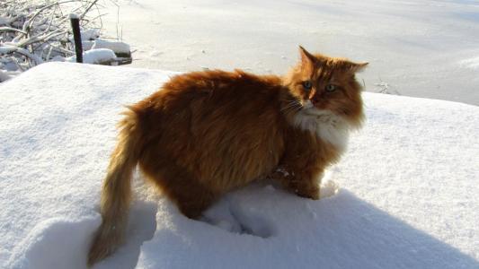 在大雪中的猫