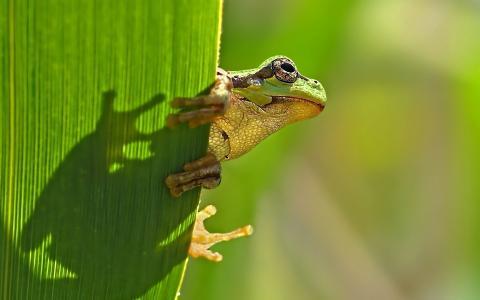 在叶子上的青蛙