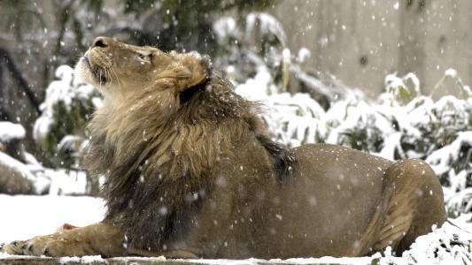 狮子在雪地里