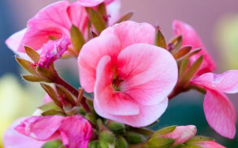 桃红色开花