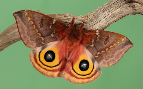 红色和黄色的飞蛾