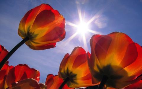 郁金香在阳光下