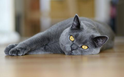 美丽的灰色猫
