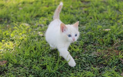 白色的小猫