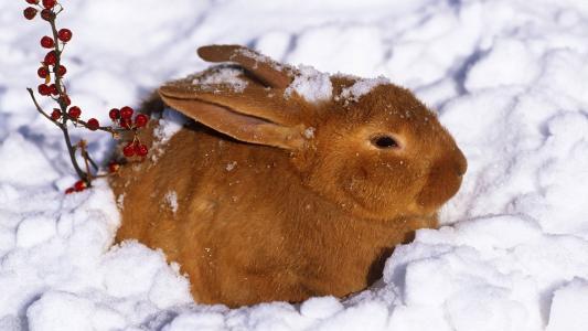 在雪的布朗兔子
