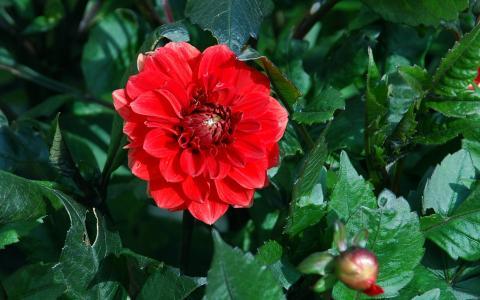 红色的大丽花