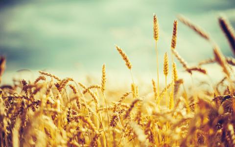 金色的小麦