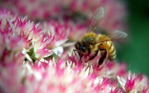 蜜蜂在粉红色的花朵