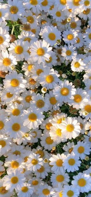 馥郁的雏菊
