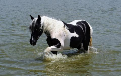 美丽的马在水中