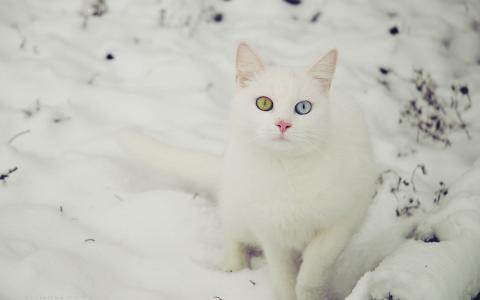 美丽的白色猫在雪地里