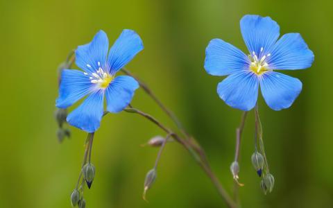 小小的蓝色花朵