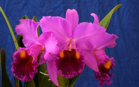 粉红色的兰花