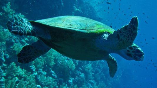 游泳的乌龟