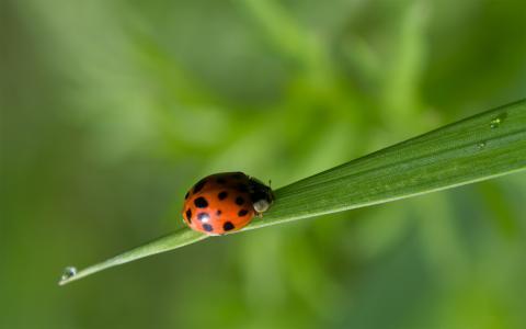瓢虫在草叶片上