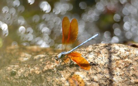 蜻蜓在岩石上