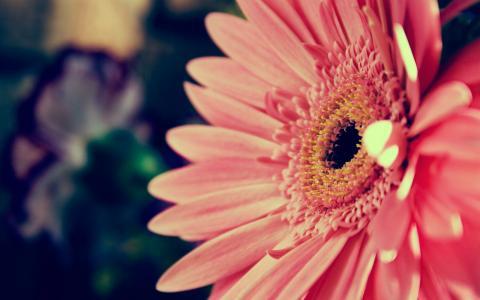粉红色的非洲菊