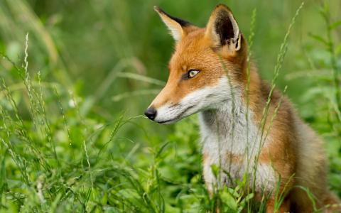 狐狸在草丛中