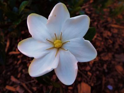 小清新淡雅的栀子花
