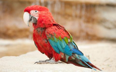 红色的金刚鹦鹉