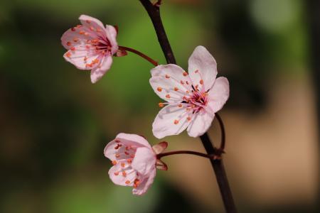 春天里的紫叶李