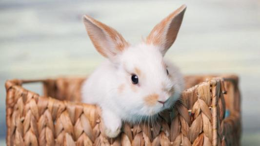 淘气可爱的小白兔