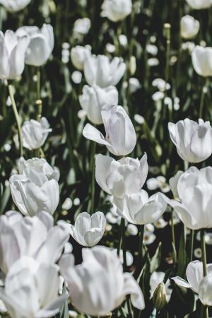 白色的郁金香花海