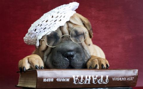 戴着眼镜和帽子的沙皮犬小狗