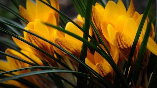 黄色的番红花
