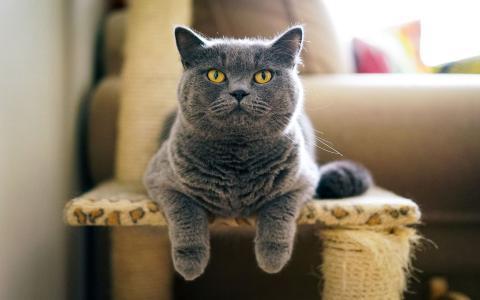 温顺乖巧的英国短毛猫