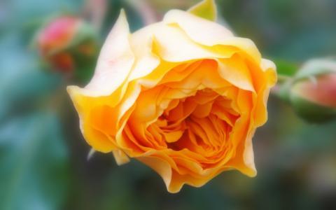 漂亮的玫瑰
