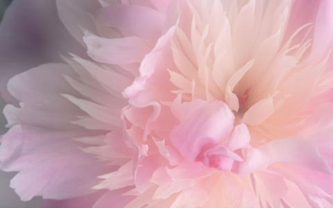 脸红粉色牡丹