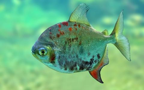 小蓝色的鱼
