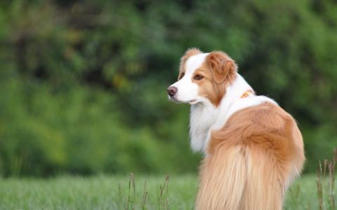 精湛的牧羊犬